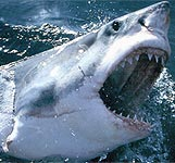 Africa Shark Dive Safaris - Great White shark cage diving